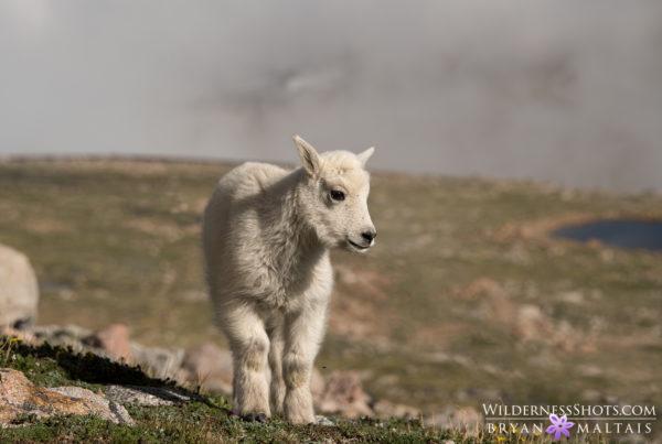 mountain goat kid mt evans colorado wildlife photos