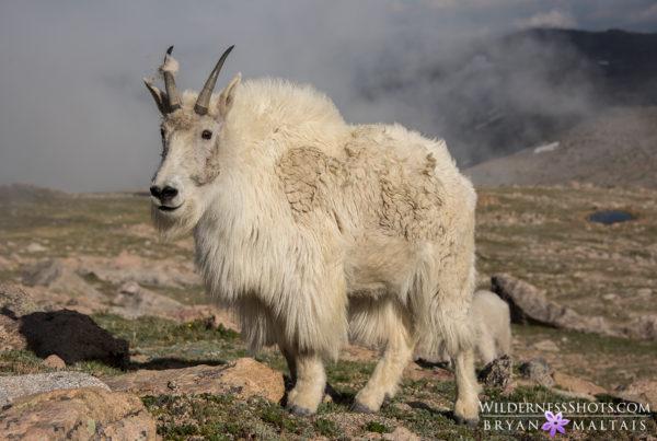 Mountain Goat Colorado Photos